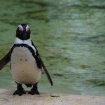 Pingouin au zoo de Londres.