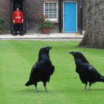 corbeau tour londres