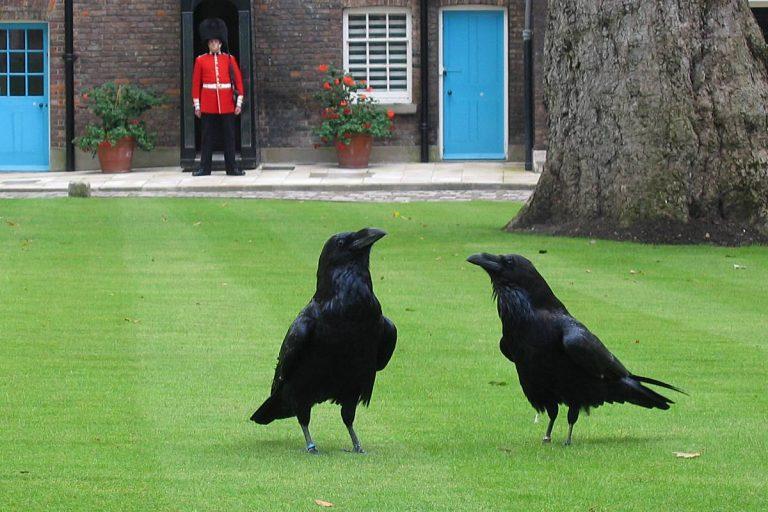 À la rencontre des corbeaux de la Tour de Londres